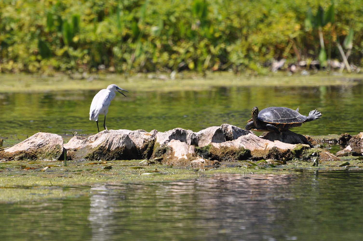 Egret and turtle at Lafayette Heritage Trail Park in Tallahassee.